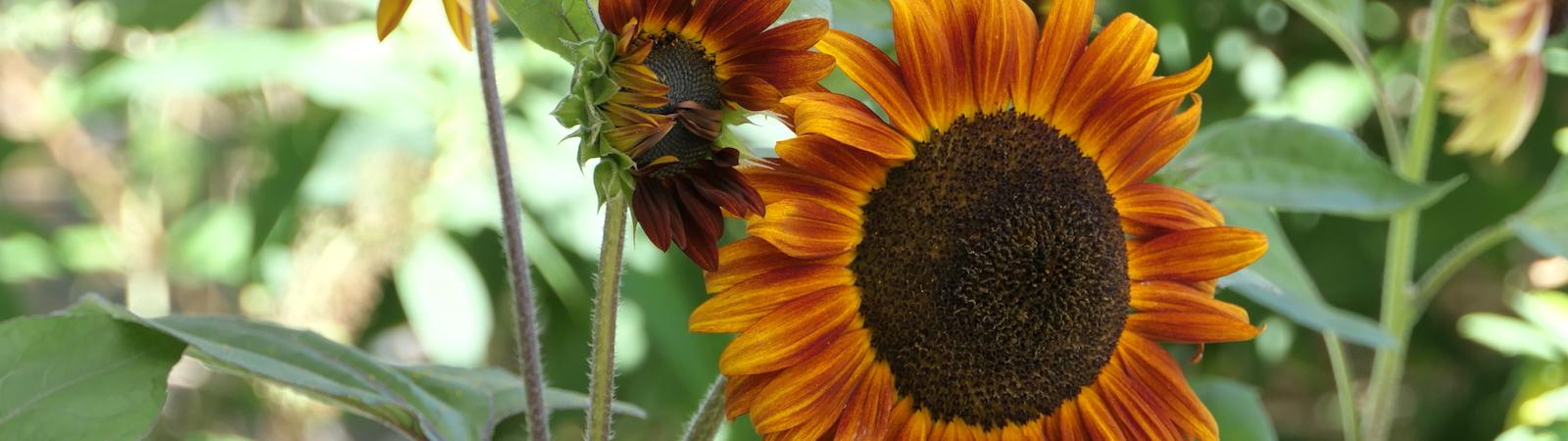 Sonnenblume_1600